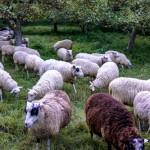 sheep at Hickories
